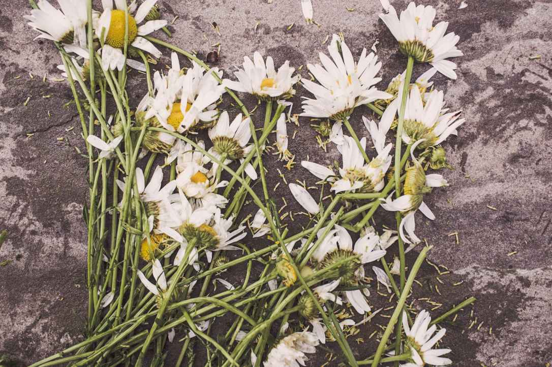 flowers marguerites destroyed dead